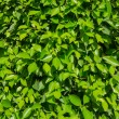 Small natural green leaves as a texture — 图库照片