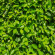 Small natural green leaves as a texture — Stockfoto