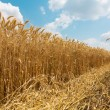 Sunny wheat field. Fresh harvest — Foto de Stock