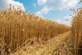 Sunny wheat field. Fresh harvest — Stock Photo
