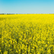 Flowering canola or rapeseed field — Stock Photo #25344855