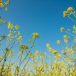 flowering canola or rapeseed field — Stock Photo #25344945