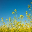 flowering canola or rapeseed field — Stock Photo