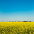 Flowering canola or rapeseed field — Photo