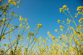 Flowering canola or rapeseed field — Foto de Stock