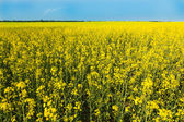 Flowering canola or rapeseed field — Stock fotografie