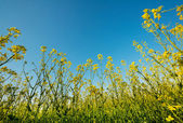 Flowering canola or rapeseed field — 图库照片