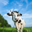 Funny dairy cow on a pasture — 图库照片