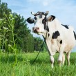Dairy cow lying on a pasture — Foto Stock