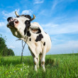 Funny dairy cow on a pasture — Stock Photo