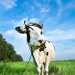 Funny dairy cow on a pasture — Stock Photo #27249283