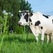 Dairy cow lying on a pasture — Foto de stock #27249285