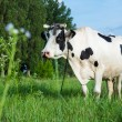 Foto Stock: Dairy cow lying on a pasture