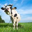 Funny dairy cow on a pasture — Photo