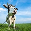 Funny dairy cow on a pasture — Stock Photo #27249303