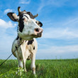 Funny dairy cow on a pasture — Foto Stock