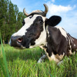 Stock Photo: Dairy cow lying on a pasture