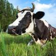 奶牛躺在草地上 — 图库照片