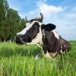 Dairy cow lying on a pasture — ストック写真