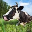 vaca lechera tirado en un potrero — Foto de Stock