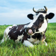 Stock Photo: Dairy cow lying on pasture