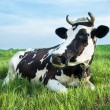 Dairy cow lying on a pasture — Stok fotoğraf