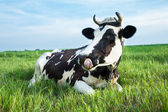 Dairy cow lying on a pasture — 图库照片