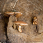 Mushrooms on a wood stump — Stock Photo #35325463