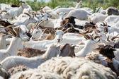 Herd of milk goats — Stock Photo