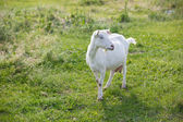 Milk goat — Stock Photo