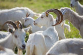Goat in a herd — Stock Photo