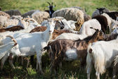 Goats on a pasture  — Stock Photo