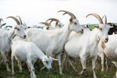 Goats in a herd — Stock Photo