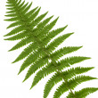 Leaf of fern isolated closeup — Stock Photo