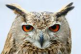 Bird owl portret closeup — Stock Photo