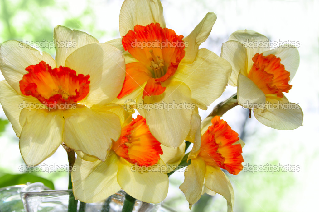 Flowers narcissus — Stock Photo #13373854