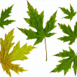 Leafs maple isolated autumn — Stock Photo