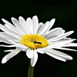 Chamomile flower — Stock Photo #14747853