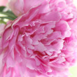 Flower peony — Stock Photo