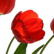 Stock Photo: Flower of tulip