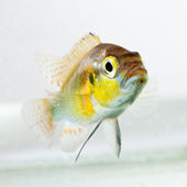 Cichlid fish (Geophagus surinamensis) — Stock Photo