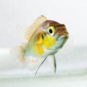 Cichlid fish (Geophagus surinamensis) — Stock Photo