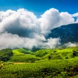 Tea plantations in India - Stock Photo