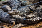 Crocodile alligator — Stock Photo
