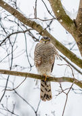 Peregrine Falcon (Falco peregrinus). — Stock Photo