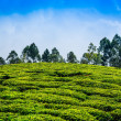 Tea plantations in India — Stock fotografie