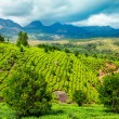 Tea plantations in India — Stock Photo #24731231