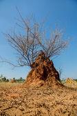 Acacia bush — Stock Photo
