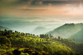 Tea plantations in India (tilt shift lens) — Stock Photo