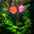 Stock Photo: Symphysodon discus